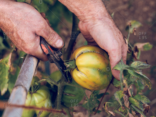 Crop hand of unrecognizable farmer cutting yellow tomato from branch in the garden