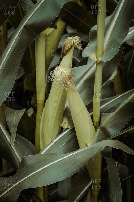 Fresh corn between plants