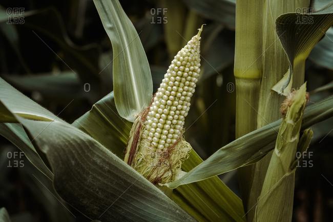 Tasty ripe corn growing between grass in cornfield