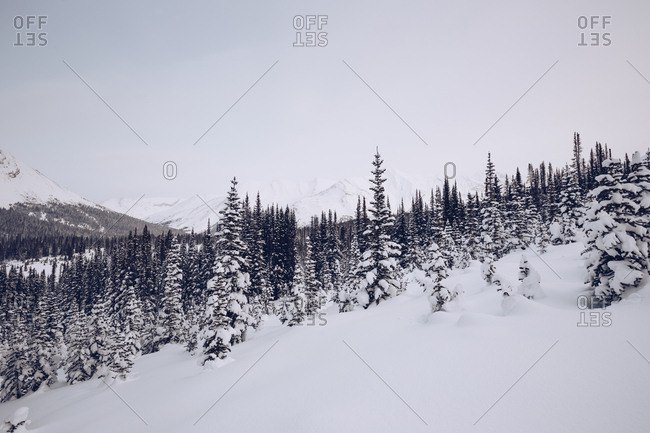 Covered in snow forest with many firs on winter plain with scenic mountains and cloudy sky on background