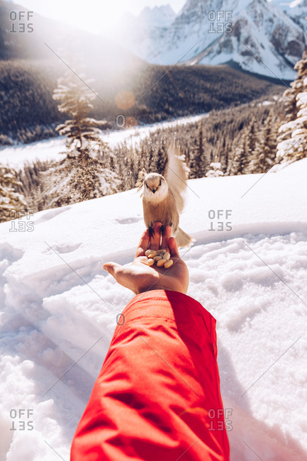 Crop hand of traveler with seeds feeding little wild bird in nature with snow and sunlight on background, Canada