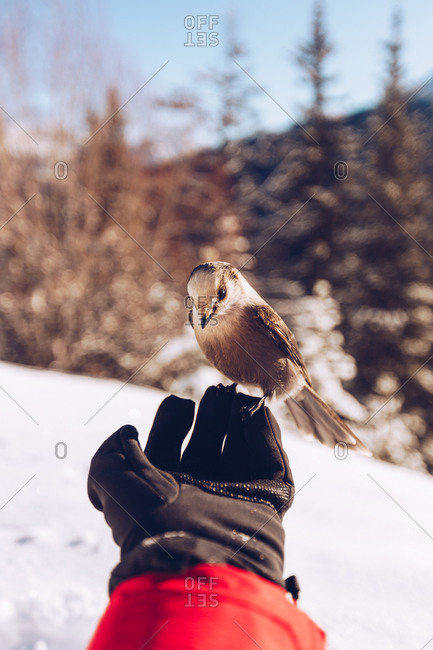 Crop hand of traveler with glove with little wild bird in nature with snow and sunlight on background, Canada