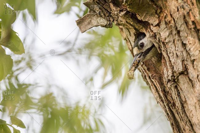 Spotted woodpecker, Dendrocopos major, at breeding burrow, head
