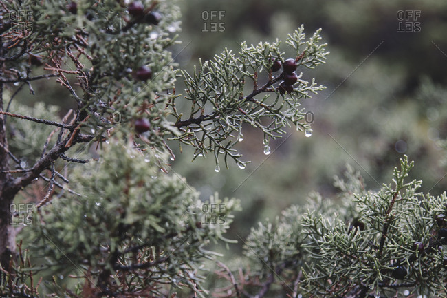 Juniper after a rain on the island of Formentera,