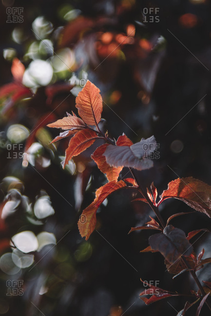 Fresh red foliage of the copper beech in the spring.