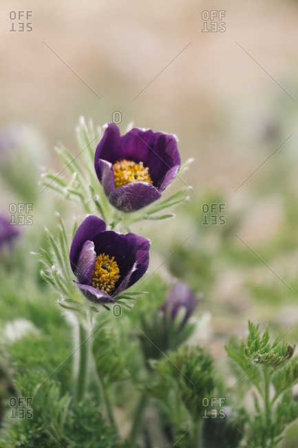 common pasque flower, Pulsatilla vulgaris