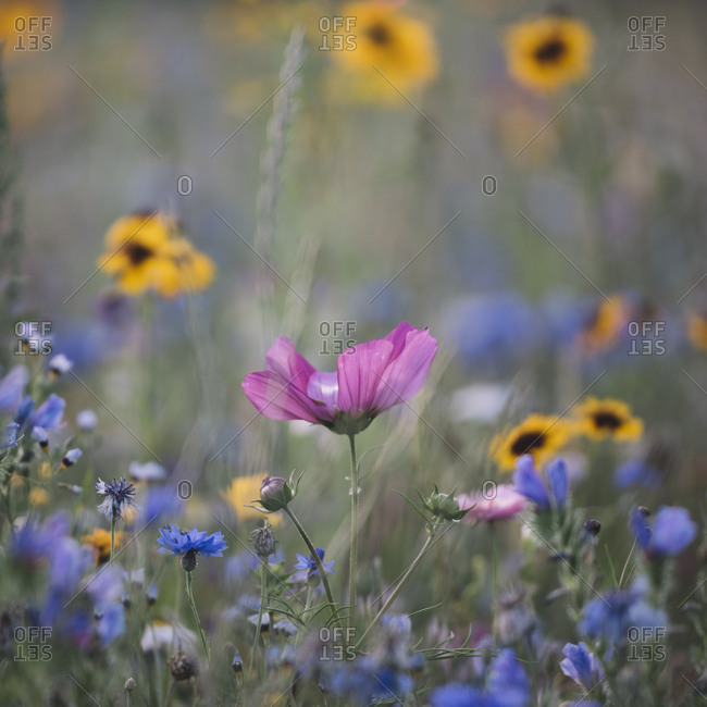 Summer flowers meadows on the roadsides of Bielefeld