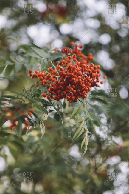 Fruits of the seabuckthorn