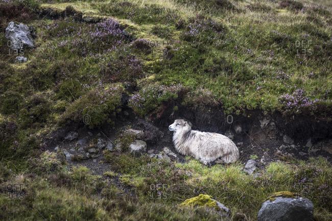 Sheep, Faeroese, hidden in moor