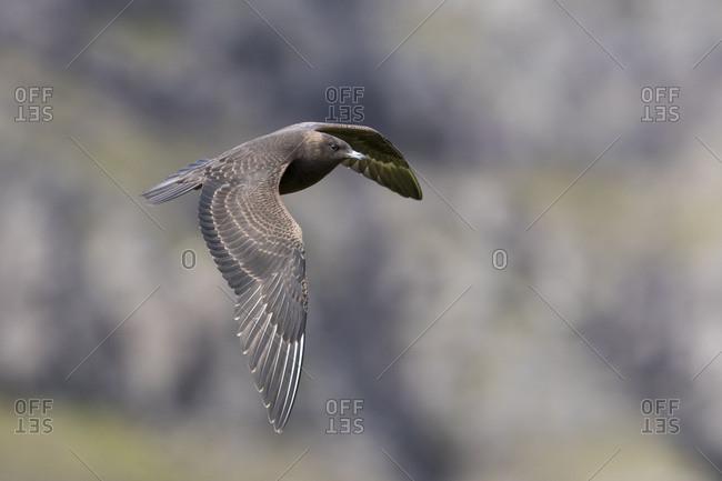 Arctic skua, Stercorarius parasiticus, juvenil plumage