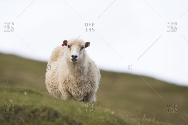 Sheep, Faeroese,