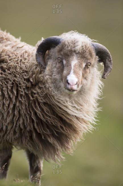 Sheep, Faeroese, portrait