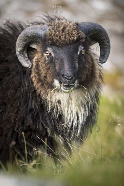 Sheep, Faeroese, portrait
