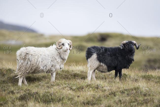 Sheep, Faeroese, two