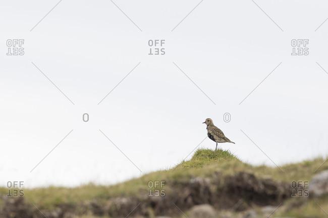 Eurasian golden plover, Pluvialis apricaria, Faeroese