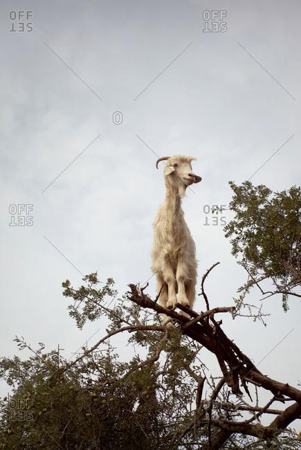 Tree, goat, sky, Morocco