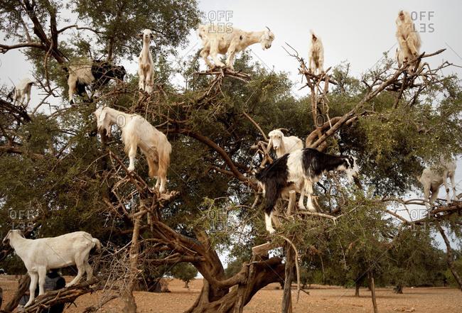 Tree, goats, Morocco
