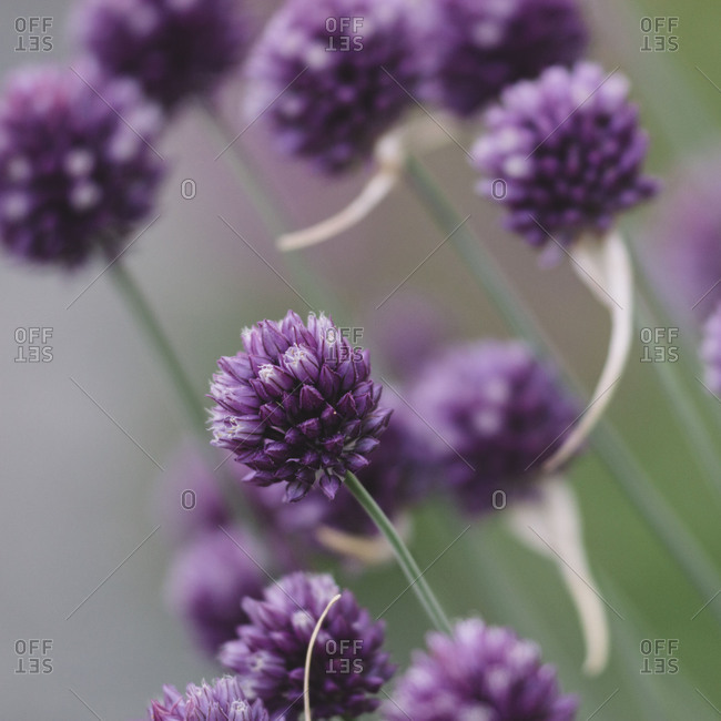 Mauve blossoms of the chives,