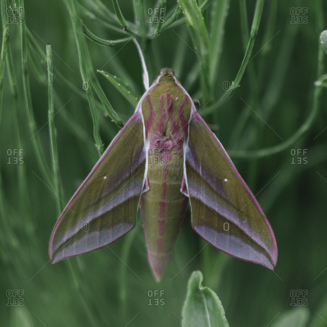 Small elephant hawkmoth in the botanical garden,