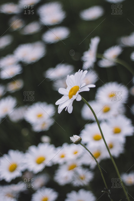 Marguerites, flower meadow, close-up,