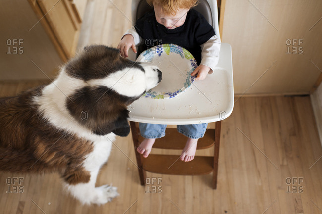 High angle view of dog eating leftovers in plate held by baby boy sitting on high chair at home