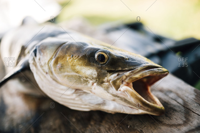 Close-up of dead fish on wood