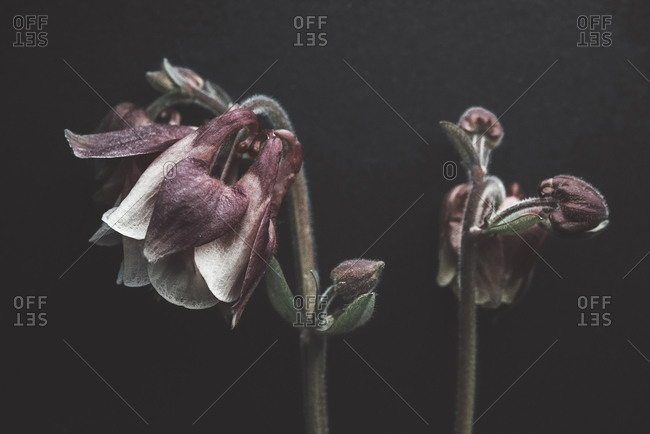 Close-up of wilted flowers against black background