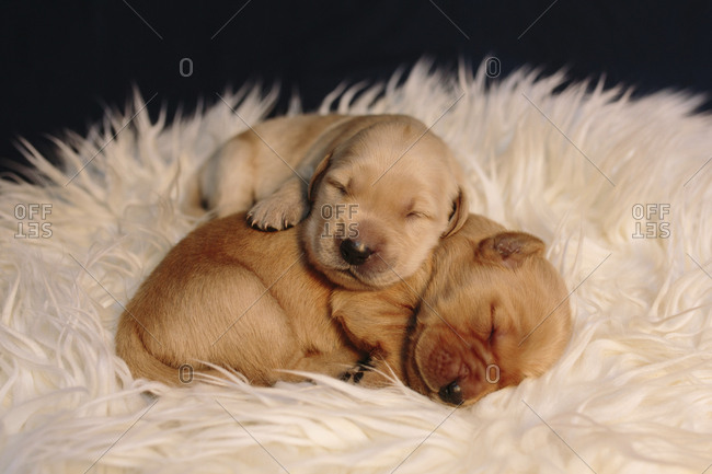 Close-up of cute puppies sleeping on rug at home