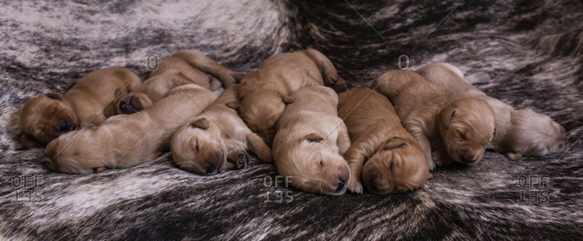 High angle view of cute brown puppies sleeping on rug at home