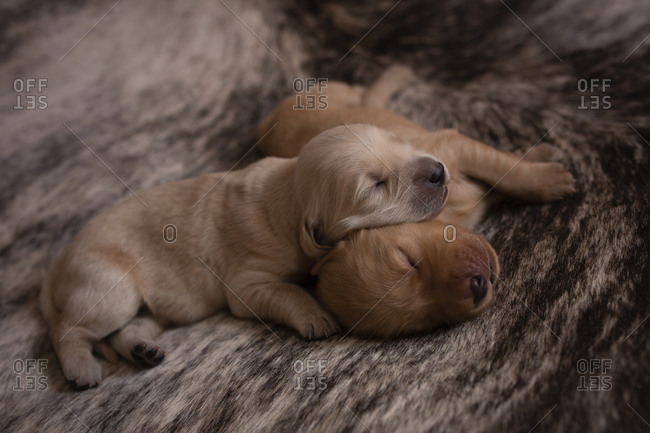 High angle view of cute puppies sleeping on rug at home