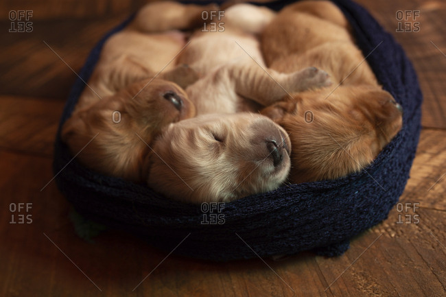 High angle view of cute puppies sleeping in pet bed on hardwood floor at home