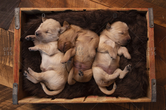 Overhead view of cute puppies sleeping in pet bed on hardwood floor at home