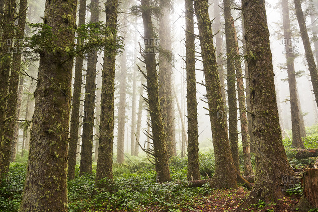 Foggy forest in Cape Meares State Scenic Viewpoint, Oregon
