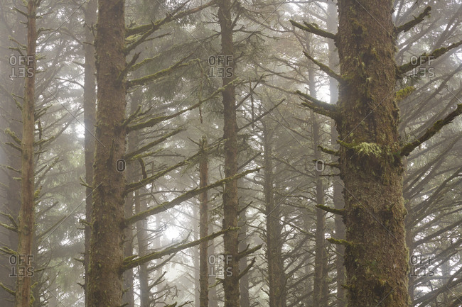 Dense fog in a forest at Cape Meares State Scenic Viewpoint, Oregon