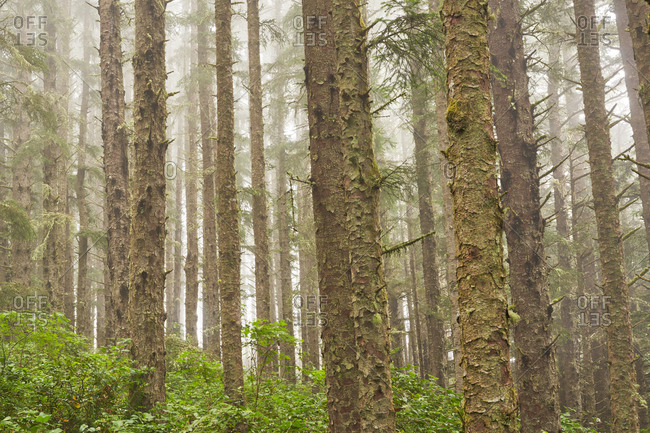 Dense foggy forest, Cape Meares State Scenic Viewpoint, Oregon