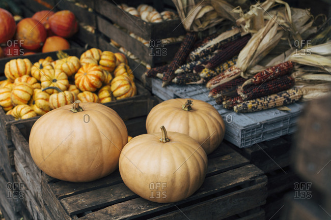 Autumn produce stand with cheese pumpkins, decorative gourds and pumpkins, and ornamental flint (Indian) corn