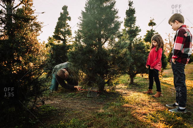 Kids watching their dad cut down a Christmas Tree