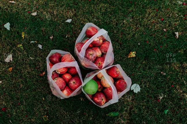 Overhead view of fresh picked apples in bags