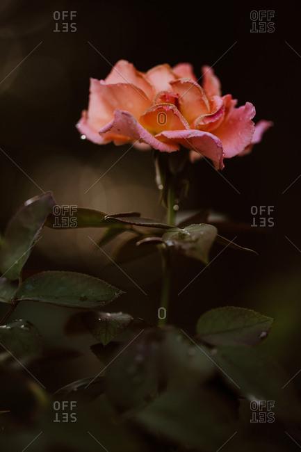 Beautiful pink garden rose