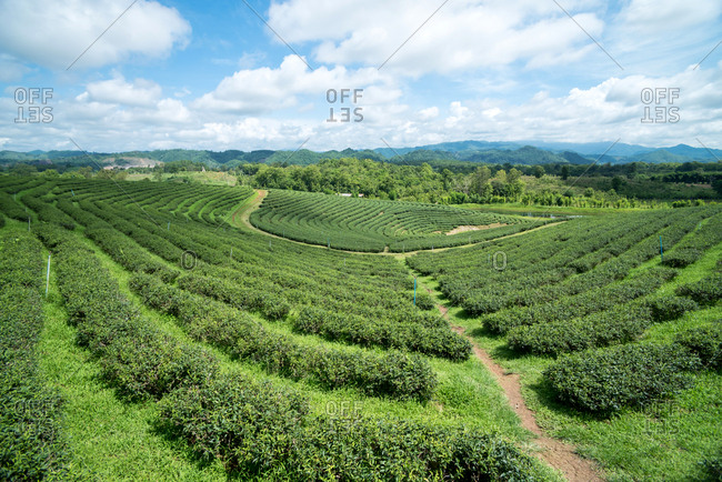 June 3, 2018: Picturesque landscape of green plantations of Choui Fong tea farm under cloudy sky, Thailand