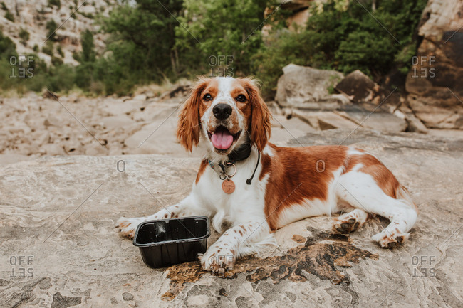 Panting Welsh Springer Spaniel on rock outside in nature