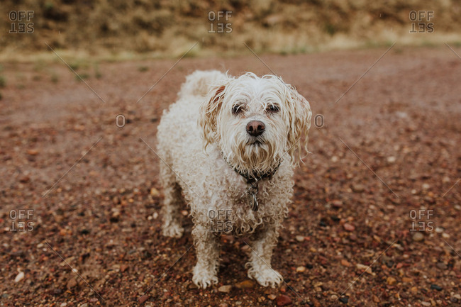 Portrait of a wet Havanese dog outside on a rainy day