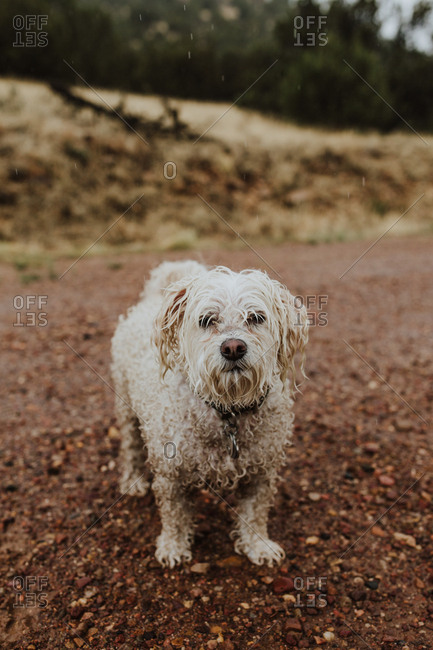 Wet Havanese dog on trail outside in nature on a rainy day
