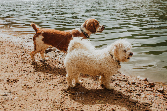 Two dogs standing together along shore of lake