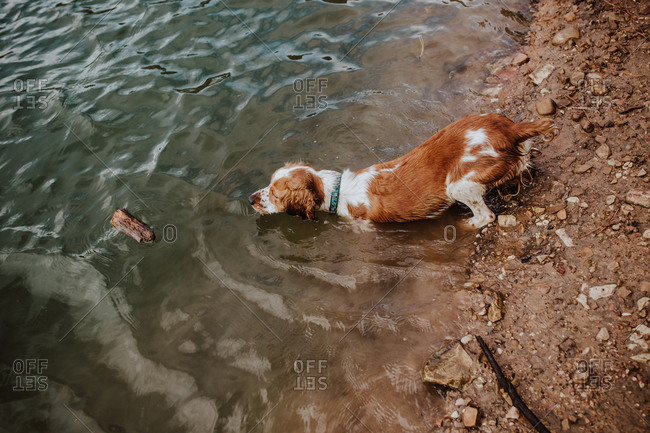 Dog retrieving piece of wood in lake