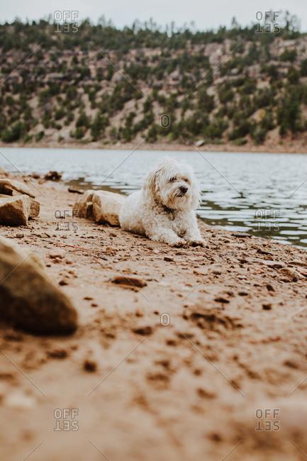 Havenese dog relaxing along lakeshore