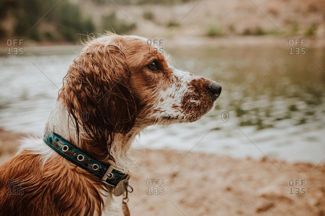 Portrait of a Welsh Springer Spaniel with wet fur