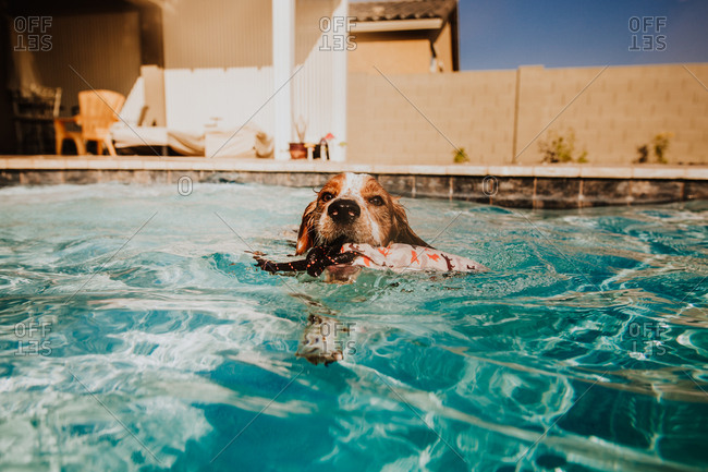 Dog retrieving toy in swimming pool