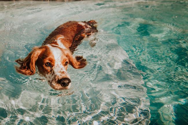 Welsh Springer Spaniel dog swimming in pool