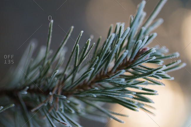 Close-up Of Pine Needles With Hoarfrost In Sunset Background